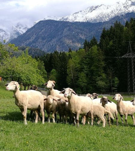 Handyshot P9 09.05.2017 Kufstein/Thierberg Sheep Mountain Animal Themes Mountain Range Large Group Of Animals Flock Of Sheep No People Grass Nature Tree Snow Livestock Outdoors Schaf  Schafe Schafherde Schäfchen Ambiente Nature Green Nature