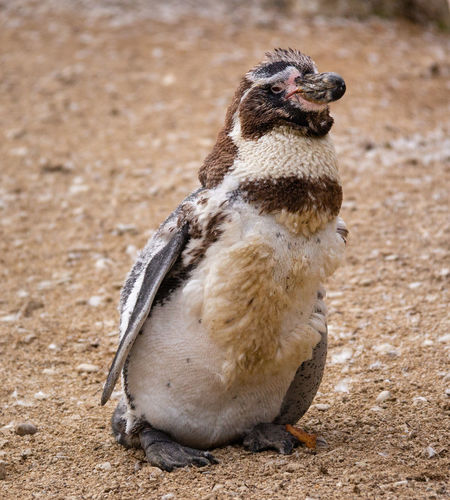 Animal One Animal Bird Day Nature Penguin Outdoors Young Animal Humboldt Penguin