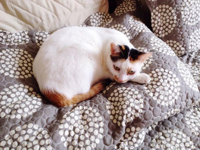 High Angle View Of Cat Relaxing On Duvet