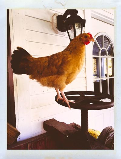 Farmers Morning Alarm Clock (Rooster) Chicken - Bird Bird Domestic Animals Animal Themes One Animal Rooster No People Pets Cockerel Full Length Hen Indoors  Day