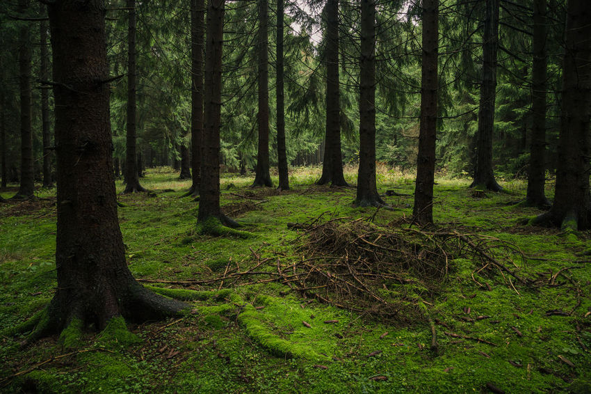 Beauty In Nature Day Environment Forest Green Color Growth Harz Harzmountains Land Landscape Nature No People Non-urban Scene Outdoors Plant Scenics - Nature Tranquil Scene Tranquility Tree Tree Trunk Trunk WoodLand