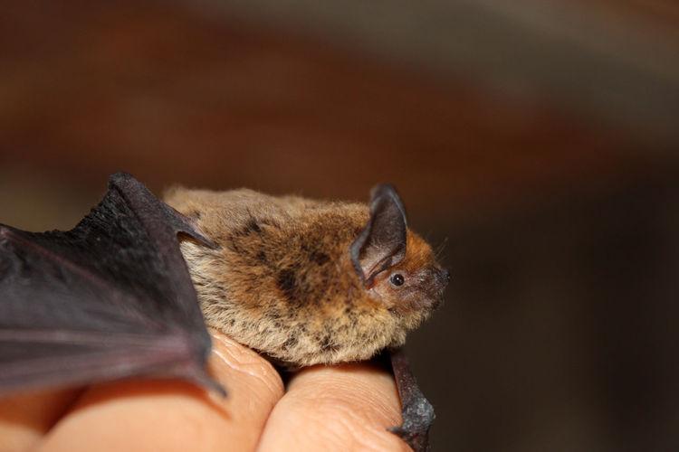 Little brown bat on a man hand.