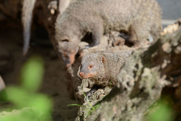 Close-up Of Mongooses On Tree Trunk