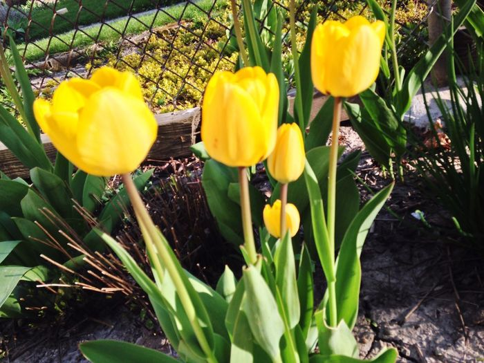 Flowers Tulips Yellow Green Flower Pretty Pretty♡ Beautiful Beauty Beautiful Nature