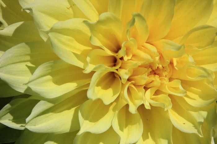 Dinnerplate Dahlia's Macro Photography Yellow Flower Beauty In Nature Blooming Close-up Day Flower Flower Head Fragility Full Frame Nature No People Outdoors Petal Plant Yellow