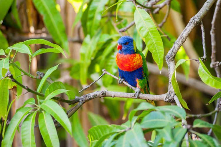 A Rainbow Lorikeet on a mango tree. Rainbow Lorikeet Animal Wildlife Vertebrate Animal Stick - Plant Part Outdoors Day Multi Colored No People Nature Tree Green Color Kingfisher Plant Part Branch Parrot Leaf Animal Themes Animals In The Wild Bird Perching Plant One Animal