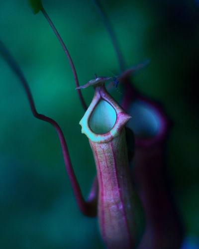 Close-up of purple leaf on plant