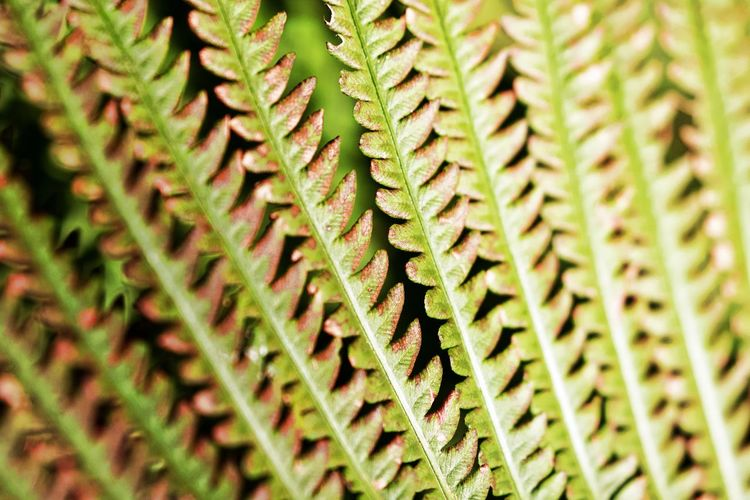 Backgrounds Fern Full Frame Green Color Leaf Natural Pattern Nature No People Outdoors Pattern Plant Plant Part Repetition Textured