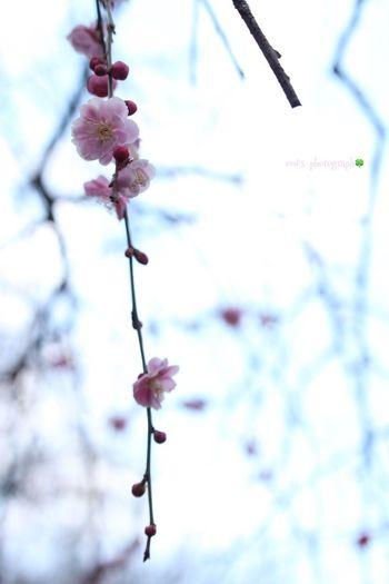 EyeEm Nature Lover Okayama Enjoying Life 梅の花 梅 梅の里 垂れ梅 Relaxing Canon Eoskissx7i 3月