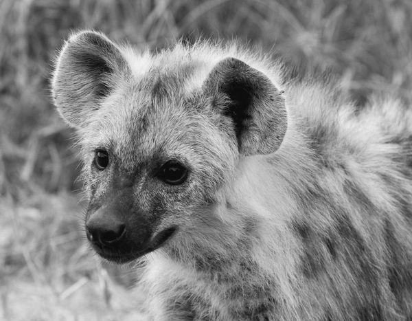Animals Animal Wild Animal Wildlife Wildlife & Nature Hyena Portrait Portraiture Portrait Of An Hyena Timbavati Game Reserve Kruger Park Krüger National Park  South Africa Popular Popular Photos EyeEm Best Edits EyeEmBestPics EyeEm Gallery EyeEm Best Shots Black And White Black & White Natural Light Portrait Original Experiences Monochrome Photography The Great Outdoors - 2017 EyeEm Awards The Portraitist - 2017 EyeEm Awards The Photojournalist - 2018 EyeEm Awards The Portraitist - 2018 EyeEm Awards