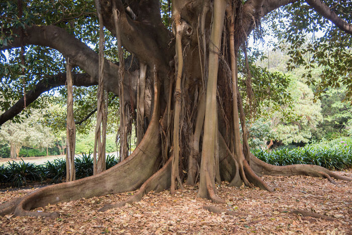 Enormous fig tree with aerial root structure at the Royal Botanic Gardens in Sydney, Australia. Banyan Tree Botanical Gardens Growth Hanging Moreton Bay Nature Royal Botanic Gardens Sydney, Australia Tendril Tree Tree Trunk TreePorn Aerial Roots Beauty In Nature Botany Branch Fig Large Leaves Lush Foliage Macrophylla Outdoors Root Tree Roots  Tree_collection