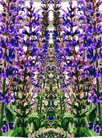 Salvia Salvia Flowers Flower Beauty In Nature Outdoors Nature Purple ToolWiz Photos Photo Editor