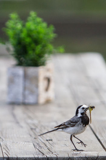 A wagtail with a hunted dragon fly in it's beak is walking over a wooden the background is decoration at a hut in the Chiemgau, Bavarian Alps, Germany. Bavaria Feeding  Green Color Wagtail Wood Animal Animal Themes Animal Wildlife Animals In The Wild Bird Boxwood Close-up Day Decoration Dragon Fruit Focus On Foreground Full Length Germany Mountain Nature No People One Animal Outdoors Perching Prey Selective Focus Sparrow Sunlight Table Vertebrate Wood - Material Zoology