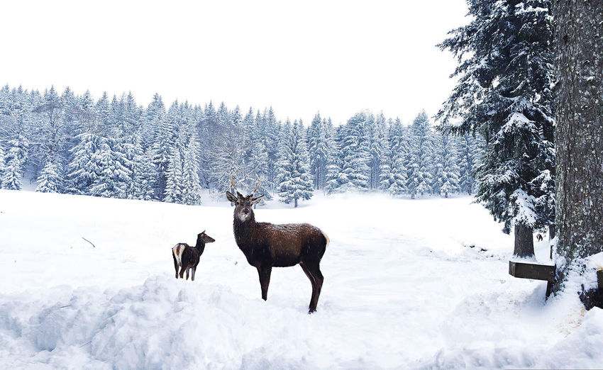 Adventure Animal Animal Themes Clean Cold Cold Temperature Day Deer Dream Forest Full Length Hiking Landscape Nature One Animal Outdoors Side View Snow Standing Trees White Wind Winter