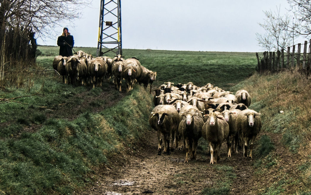 Going home Agriculture Animal Themes Animals Domestic Animals Easter Easter Ready Easter Sheeps Farmlife Grass Landscape Landscapes With WhiteWall Livestock Nature Photography In Motion Sheeps Sky Urban Spring Fever Walking