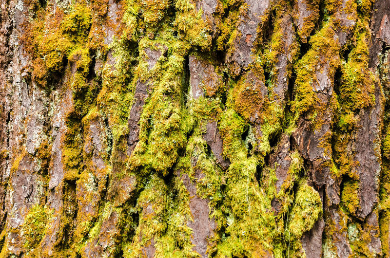 Moss covered tree bark texture Background Bark Bark Brown Close-up Day Forest Lichen Moss Natural Nature Nature Old Outdoors Pattern Pine Plant Rough Texture Textured  Tree Tree Trunk Wood Wooden