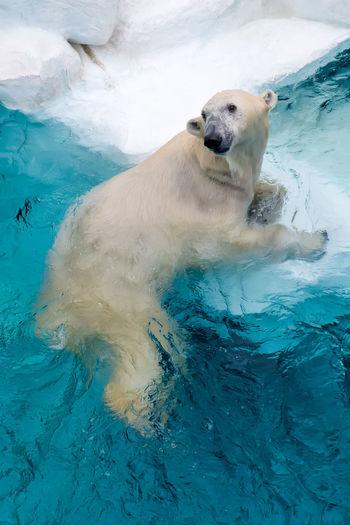 Beruang Kutub /