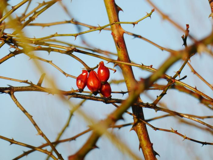 Close-Up Of Rose Hips On Tree