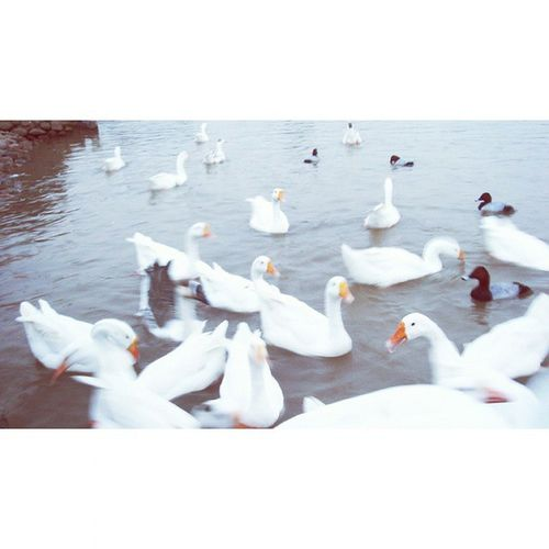 Made with @nocrop_rc Rcnocrop Ducks Lake Lakeview Feedingducks Cute Whiteducks Blackducks EyeEm Eyeemfilter Cutelittlebirdie Enjoyinglife  Frommypointofview Takingphotos ♥♥♥❇