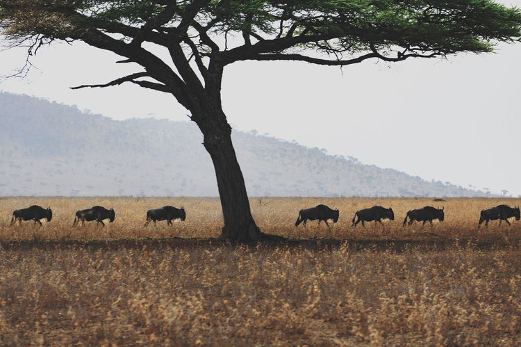 Acacia Tree Animal Themes Animals In The Wild Beauty In Nature Great Migration Landscape Large Group Of Animals Nature Serengeti Serengeti National Park Sky Tree Tree Wildebeest
