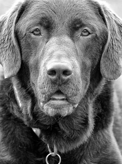 Dog Portrait Pets Dog Gundog Dog Photography Chocolate Labrador Working Dog Black & White Animal Themes Portrait Black And White Photography Pet Photography  Labrador