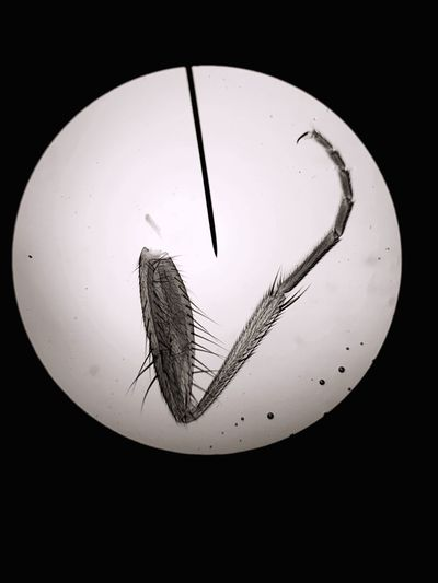 Insect leg and needle seen through microscope