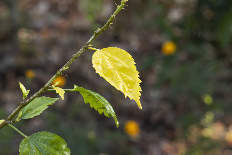 Close up of yellow leaf of hibiscus falling from the tree in autumn
