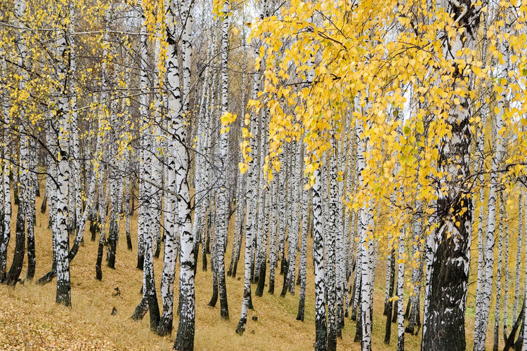 magic birch grove in autumn paints Autumn Autumn; Forest; Tree; Woods; Landscape; Nature; Outdoors; Tranquil; Yellow; Branch; Season; Deciduous; Foliage; Birch; Park; Environment; Bush; Leaves; Fall; September Beauty In Nature Cold Temperature Day Forest Growth Landscape Nature No People Outdoors Scenics Tranquility Tree Yellow