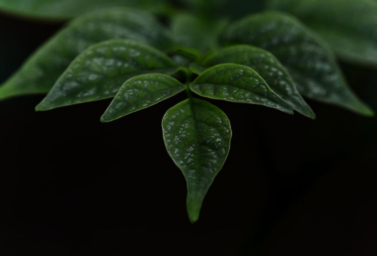 Close-up of wet plant against black background