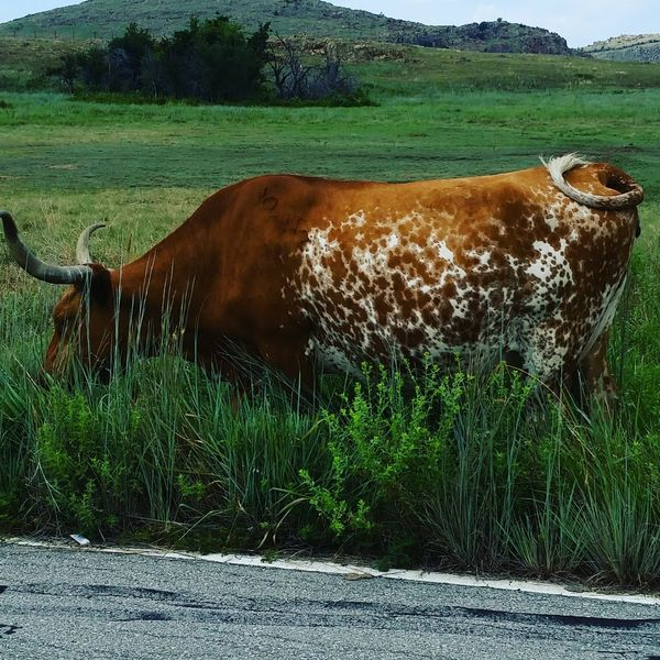Long Horn Texas Livestock Agriculture Outdoors Nature Taking Photos Enjoying Life Check This Out Animals In The Wild