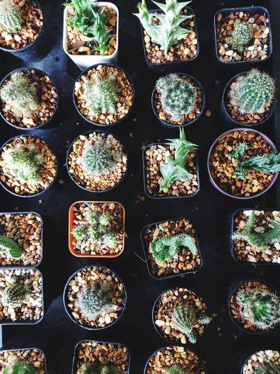 Full frame shot of cactus plants