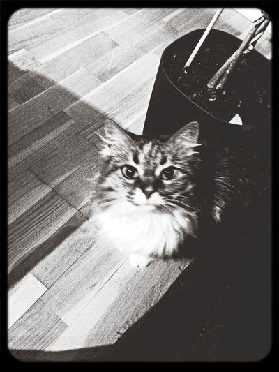 My Queen Cat Black & White Hello World