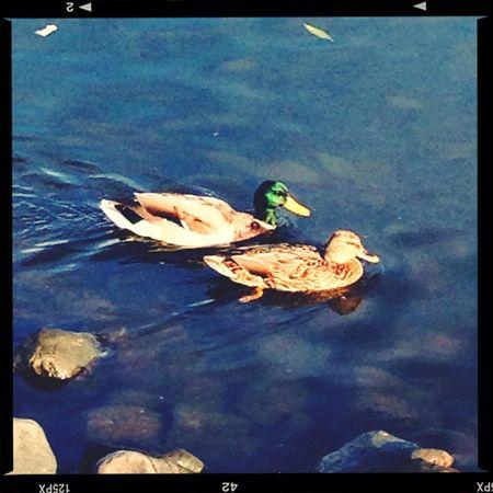 Ducks Nature Beautiful