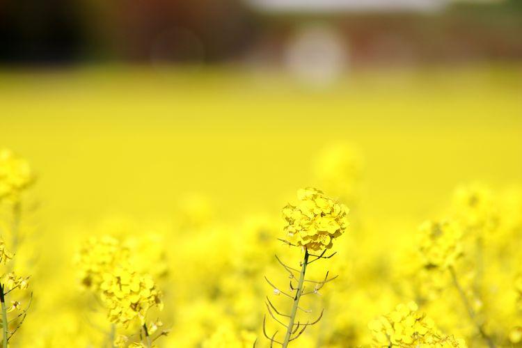 Close-up of fresh yellow flower field