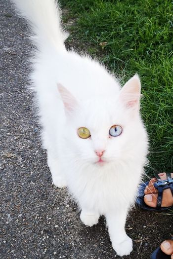 eyes Blue Eyes Different Colour Eyes White Cat White Color White Pets Portrait Feline Domestic Cat Looking At Camera Lying Down Grass Kitten Persian Cat  Whisker Cat Yellow Eyes Young Animal