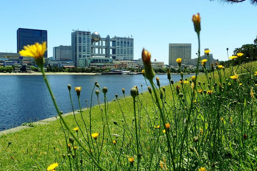 An injection of blue, green & yellow here and there... So vivid on that particular hot spring day... Loving those yellow blossoms that proliferate among the grassy slopes... And far into the background is the unique #fujitvbuilding & #odaibaseasidepark pier 📷 from Daiba Park Ultimate Japan Odaiba Odaibacity Tokyo Japan Minatoku Fuji TV Building Architecture Unique Blue And Green Blue Green Yellow Framing The View Framing Yellow Flower Spring Grassy Bank Landscape Nature Landscape_photography Depth Of Field Neighborhood Map