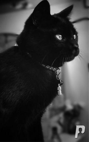 Pets Animal Domestic Animals Mammal Domestic Whisker Black Color