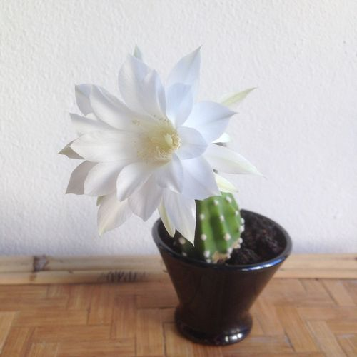 Flower Plant Vase Indoors  Potted Plant No People cactus Nature Fragility white Flower Head green Nobody Succulents Succulent Plants