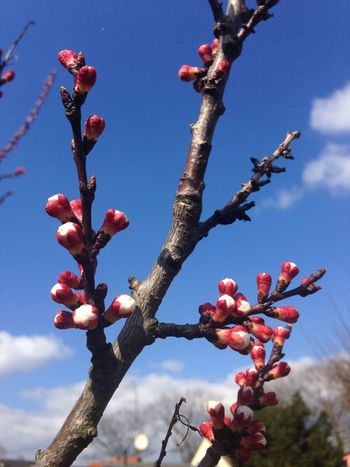 peach blossom Peach Blossoms Peach Flowers Sky And Clouds Beauty In Nature Blue Sky Blue Sky And Clouds Branch Close-up Day Flower Flower Head Fragility Freshness Fruit Growth Low Angle View Nature No People Outdoors Peach Blossom Peach Tree Peachtree Red Sky Tree A New Beginning