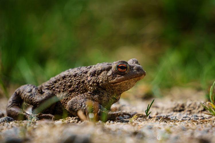 bufo bufo Animal Toad Amphibian Bufo Bufo Ground EyeEm Selects Iguana Reptile Lizard Close-up Living Organism Frog
