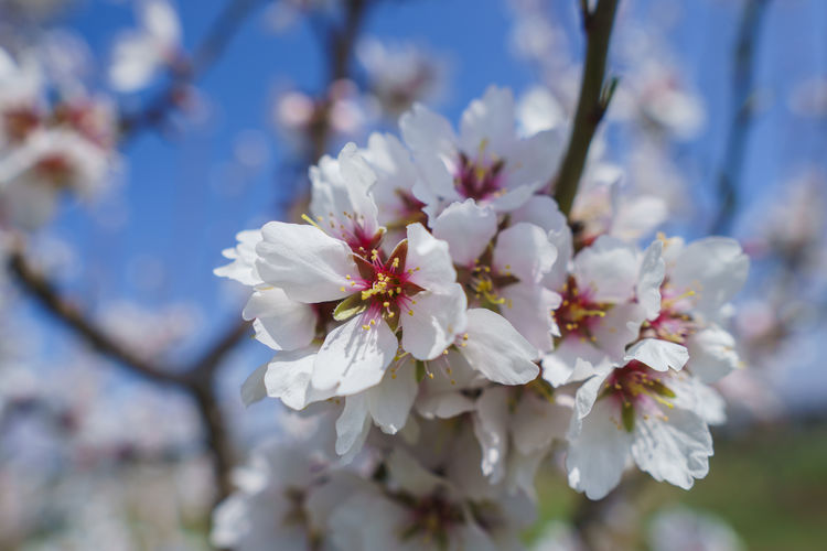 Flower Flowering Plant Fragility Vulnerability  Plant Freshness Growth Beauty In Nature Springtime White Color Blossom Tree Close-up Cherry Blossom Day Petal Branch Fruit Tree Nature Focus On Foreground Flower Head No People Pollen Cherry Tree Outdoors