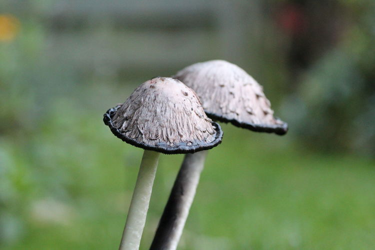 Mushrooms in the garden Mushroom Fungus Vegetable Food Focus On Foreground Close-up Toadstool Growth Edible Mushroom Plant Day Nature No People Freshness Food And Drink Vulnerability  Fragility Land Beauty In Nature Field Outdoors