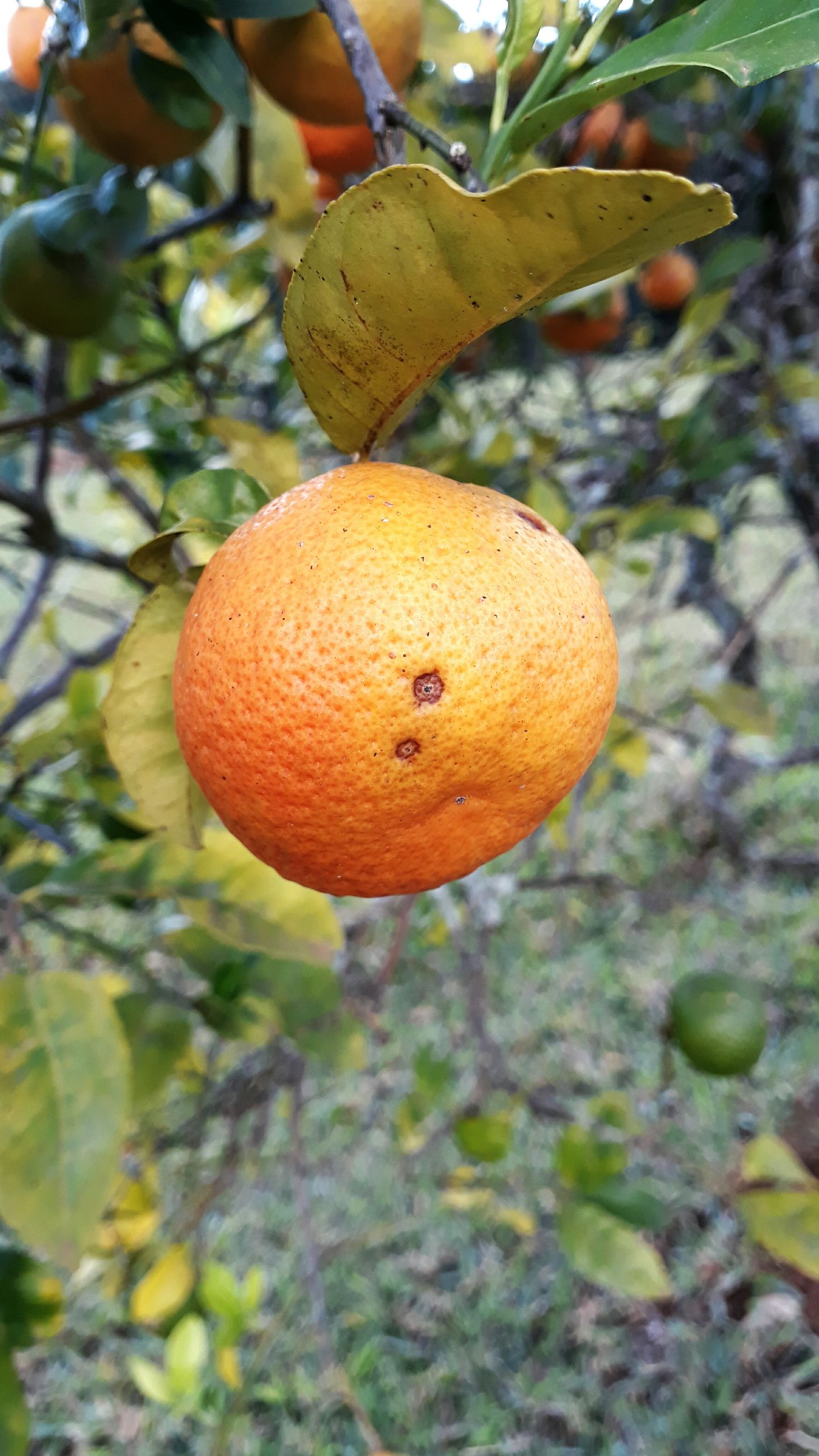 fruit, tree, growth, food and drink, citrus fruit, focus on foreground, day, freshness, food, no people, outdoors, healthy eating, close-up, hanging, leaf, low angle view, nature, branch, beauty in nature
