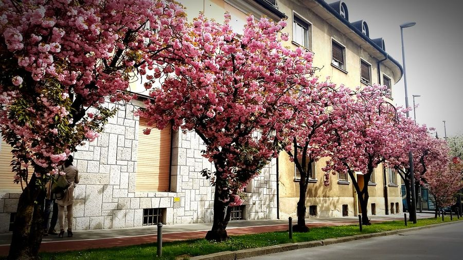 Spring Pink Flowers Sunny Day City Street