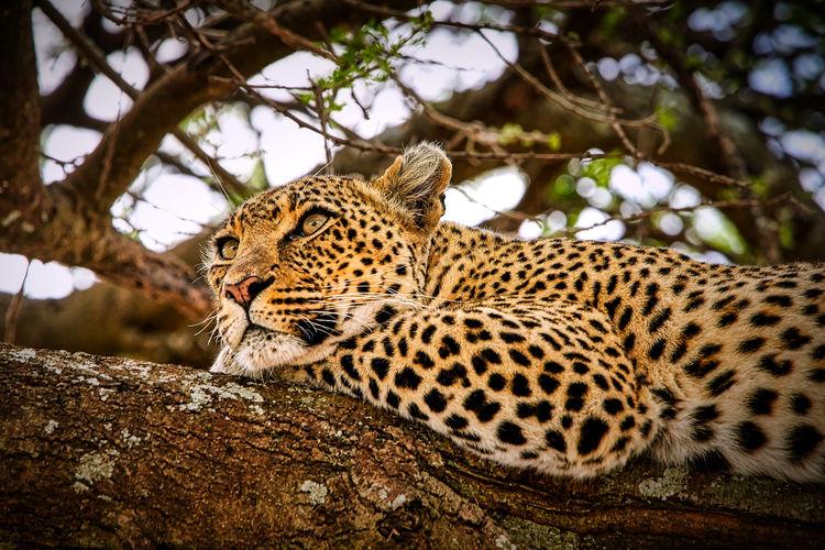 Pensive Leopard, Serengeti, Tanzania Safari, Travel,tout. Tanzania Serengeti Animal Themes Animal Big Cat Animals In The Wild Animal Wildlife One Animal Tree Feline Mammal Leopard No People Carnivora Animal Markings Whisker Undomesticated Cat Branch