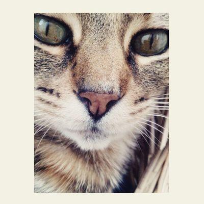 kim Cat Love Greeneyes Animal inthahood beautyful vsco photo photography picoftheday