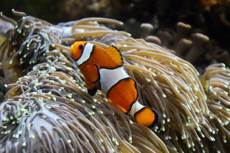 Close-up of clownfish swimming by anemone in sea