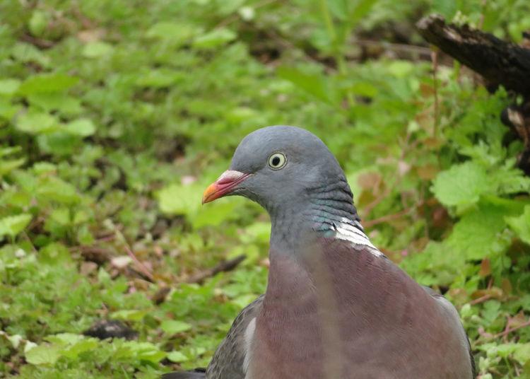 Bird Mourning Dove Close-up Dove - Bird Feather  Beak My Best Photo
