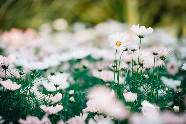 Flowering Plant Flower Freshness Fragility Plant Vulnerability  Beauty In Nature Growth Selective Focus Petal Land Flower Head White Color Close-up Inflorescence Field Nature Day No People Outdoors Springtime Cosmos Flower White Flower