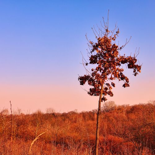Tree on field against clear sky during sunset
